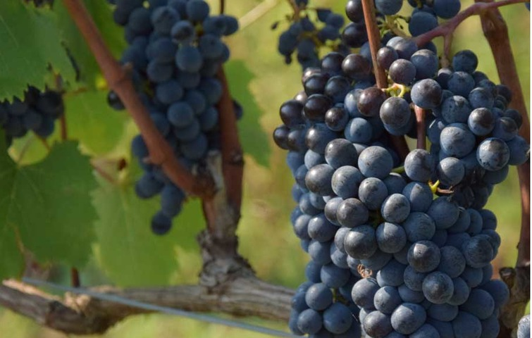 Guided tour: Cortona and Syrah wine